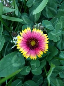 Rudbeckia flower